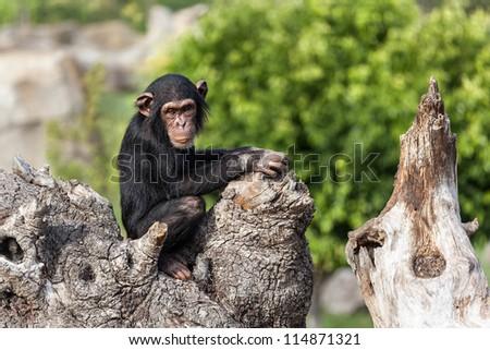 Chimpanzee in a tree (Landscape format)