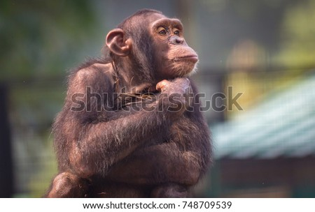 Chimpanzee in close up view with thoughtful expression