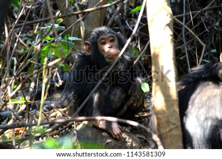 Chimpanzee in the floor of the jungle in Gombe National Park - Tanzania