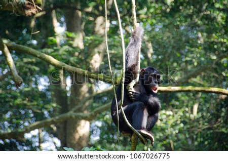 Chimpanzee in the Kyambura Gorge