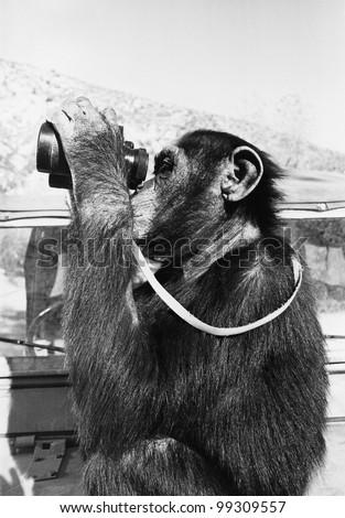 Chimpanzee looking through binoculars