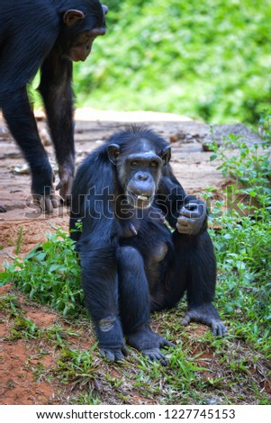 Chimpanzee monkey / Common Chimpanzee Sitting on ground eating  fruit in the national park - animal wildlife Chimpanzee (Pan troglodytes )