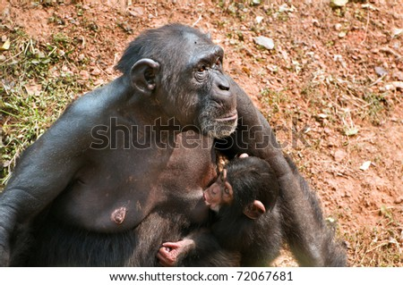 Chimpanzee mother breast feeding her little baby.