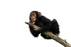 chimpanzee on a branch, isolated with white background