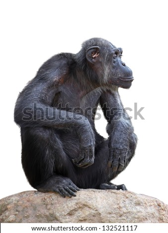 Chimpanzee on a white background