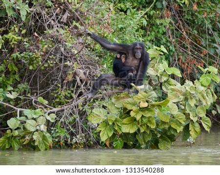 Chimpanzee (Pan troglodytes) in its natural habitat on Baboon Islands in The Gambia