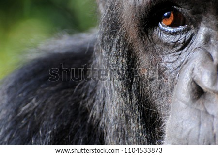 Chimpanzee´s eye closeup