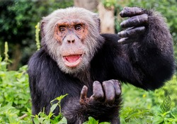 Chimpanzee's (Pan troglodytes) are one of the 5 great apes. They are extremely intelligent and capable or communicating through various methods including hand gestures.