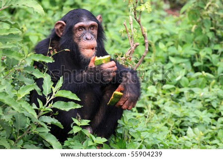 Chimpanzee Sanctuary, Game Reserve - Uganda, East Africa - stock photo