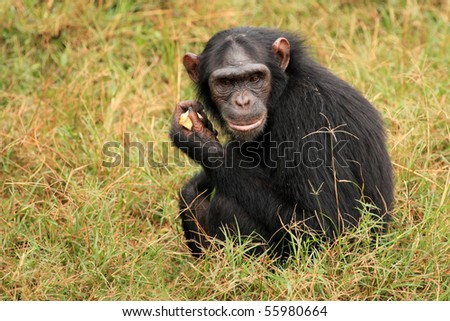 Chimpanzee Sanctuary, Game Reserve - Uganda, East Africa