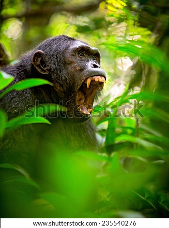 Chimpanzee screaming in the African Rain forest. Wild animal and endangered species in need of nature conservation. Great ape portrait. Chimp in natural wilderness #235540276