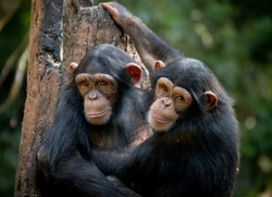 Chimpanzee sibling hugging each other