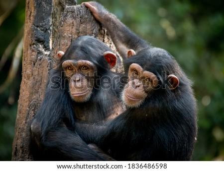 Chimpanzee sibling hugging each other Сток-фото ©