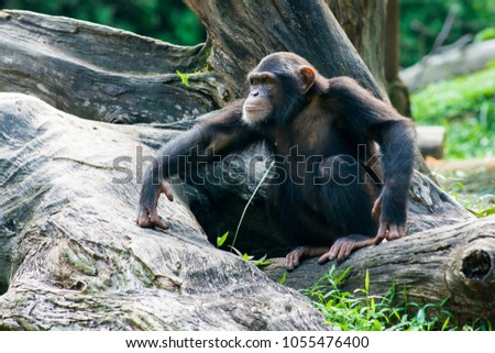 Photo of  Chimpanzee sits on a branch in the jungle