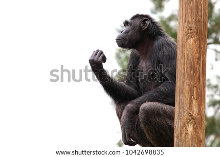 Chimpanzee sits on a log and gesticulates