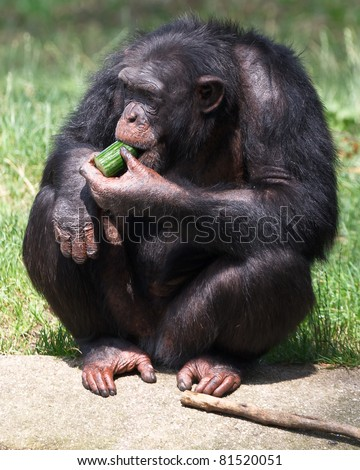 Chimpanzee sitting eating cucumber