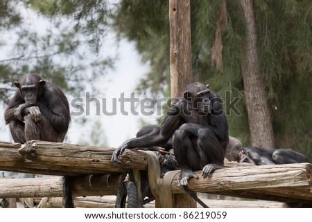Chimpanzee sitting on the wooden flooring