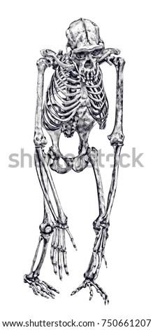 chimpanzee skeleton isolated on white background