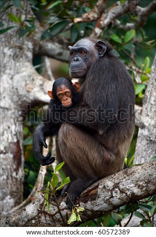 Chimpanzee with a cub on mangrove branches. Mother-chimpanzee sits and holds on hands of the kid.
