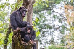 chimpanzees group on tree