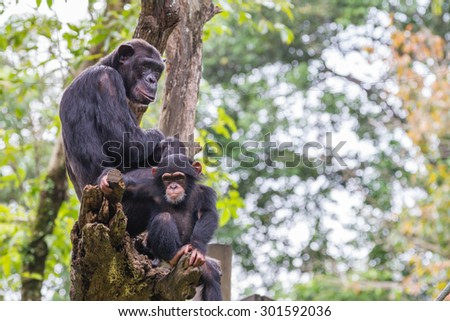 chimpanzees group on tree