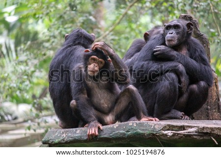 Chimpanzees live in large multi-male and multi-female social groups, which are called communities. #1025194876