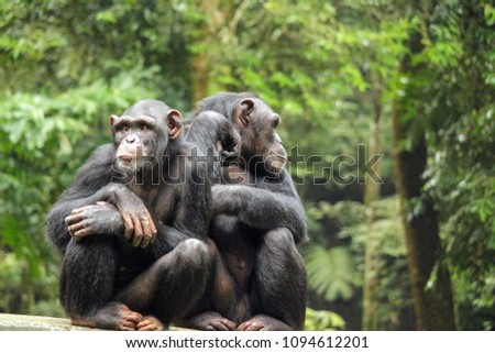 Chimpanzees live in large multi-male and multi-female social groups, which are called communities. Within a community, the position of an individual and the influence the individual has on others dict