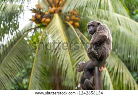 Chimpanzees relaxing, playing and posing for photo. Limbe wildlife center, Cameroon, West Africa. African wildlife apes. Foto stock ©