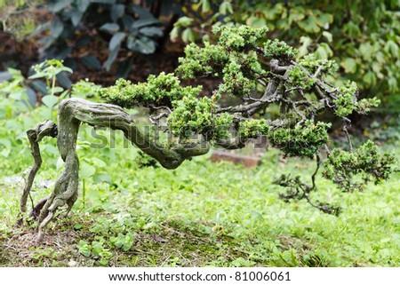 china bonsai in a nursery