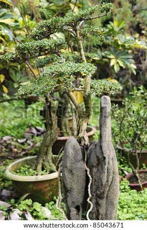 china bonsai in a nursery