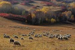 China Highland. Bashang Mongolian Plateau Fall Landscape. Chinese Yellow Grassland and Sheep Flock Background. Colorful Autumn Forest View.