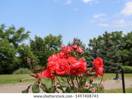 China rose (Rosa chinensis) Rosa chinensis, commonly known as the Chinese rose or Chinese rose, is a member of the Rosa genus of Southwest China in Guizhou, Hubei and Sichuan Provinces.