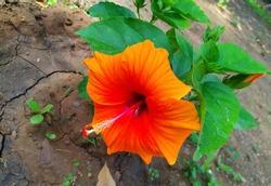 china rose rosa hibiscus plant, orange flower