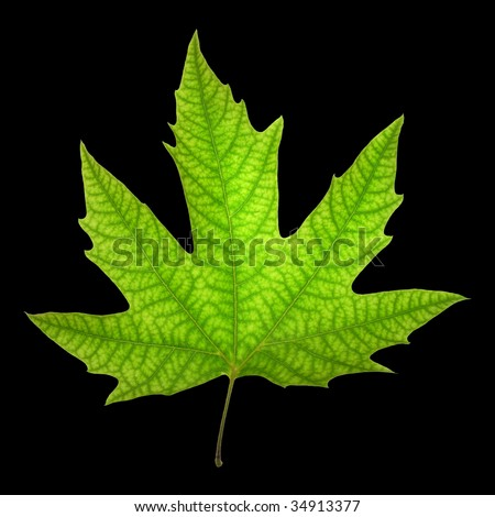 Chinar Leaf Images