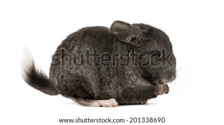 Chinchila eating, isolated on a white background
