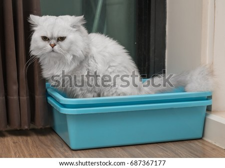 Chinchila persian cat using toilet, litter box, for pooping or urinate