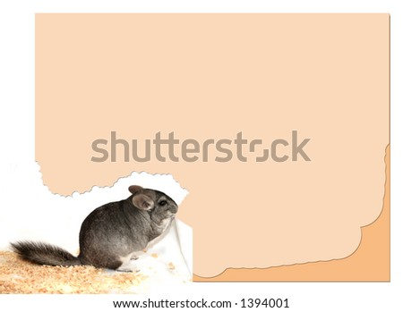 chinchilla chews on paper (blank for printing)