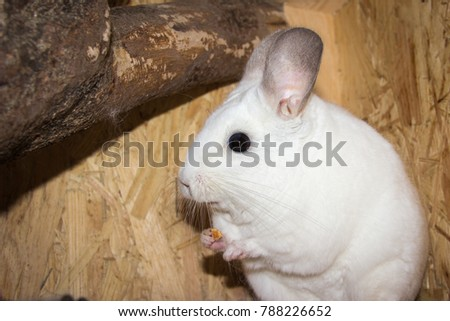 Chinchilla eating (Chinchillidae - White Ebony Piebald) #788226652