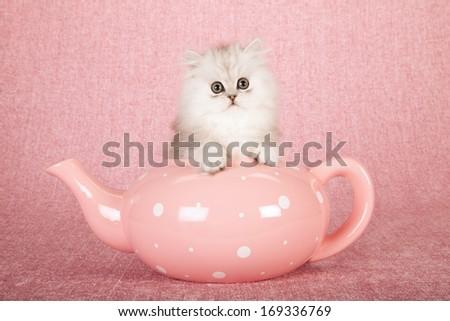 Chinchilla kitten sitting inside large pink polka dot teapot against pink background