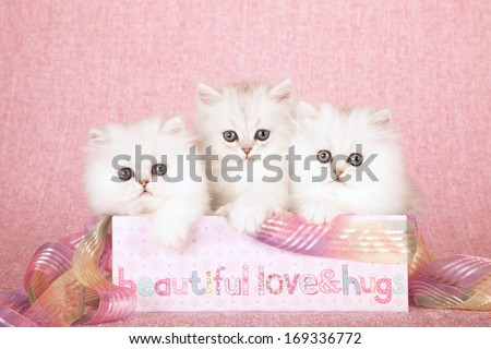 Chinchilla kittens sitting inside pink gift box container with ribbon against pink background