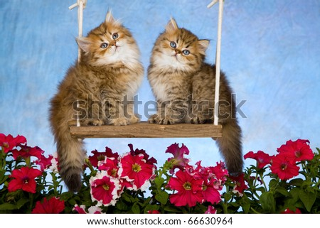 Chinchilla Persian kittens on garden swing with flowers