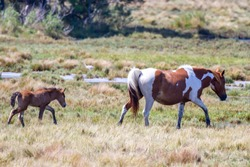 Chincoteague ponies with new foal following mare in Assateague Island National Seashore.
