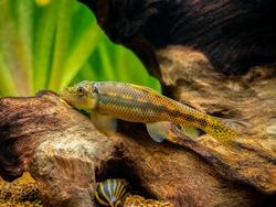 Chinese Algae Eater (Gyrinocheilus aymonieri) isolated in fish tank with blurred background