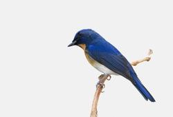 Chinese Blue Flycatcher (Cyornis glaucicomans)