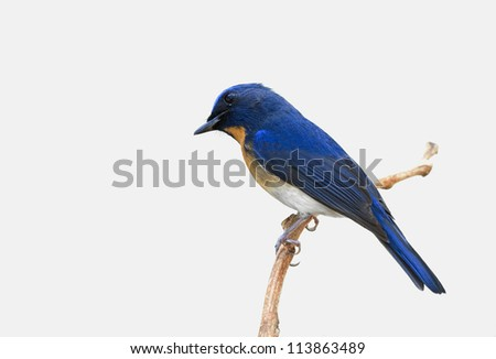Chinese Blue Flycatcher (Cyornis glaucicomans)