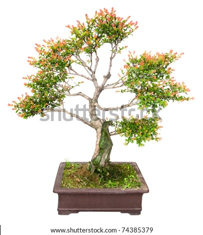 chinese bonsai tree isolated on white