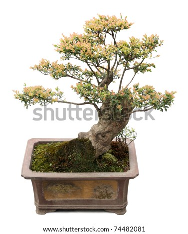 chinese bonsai tree isolated on white,  miniature elm tree.