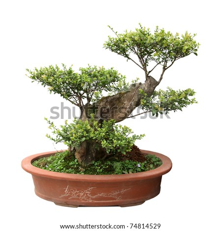 chinese bonsai tree of elm in a ceramic pot