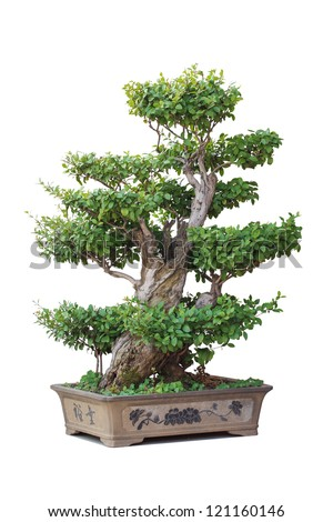 chinese bonsai tree with white background