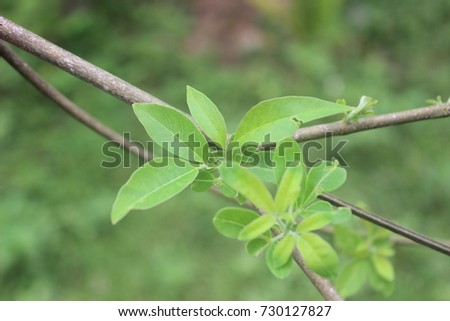 Chinese chaste medicinal plant